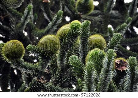 Closeup of Monkey Puzzle (pine. araucaria araucana) tree with large and strange blossoms - stock photo