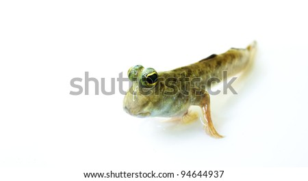 Closeup of Mudskipper on white background. - stock photo