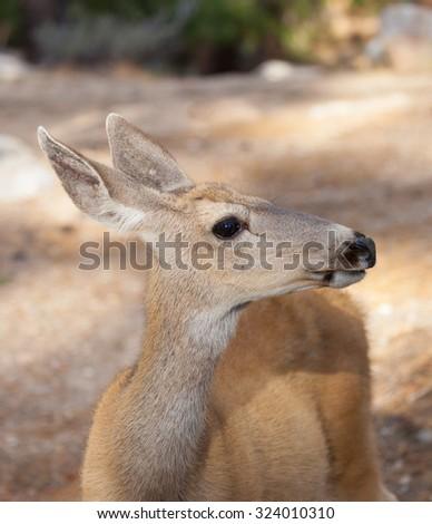 Closeup of Mule Deer Doe (Odocoileus hemionus) - stock photo