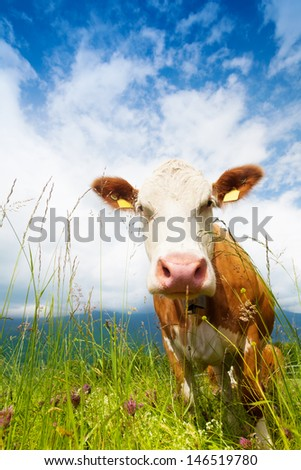 Closeup of muzzle of a cow standing on a pasture