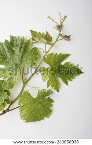 Closeup of new wine leaves on white background, soft shadows - stock photo