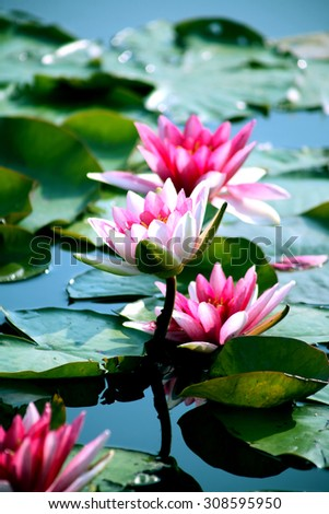 Closeup of nice pink water lilies on background with green leaves - stock photo