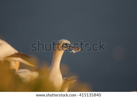 Closeup of Nothern Gannet - stock photo