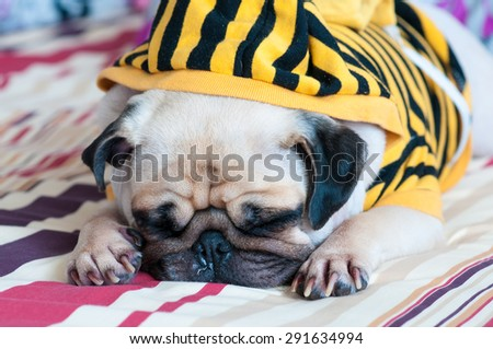 Closeup of old sleeping pug puppy with snot of cold wear yellow Sweatshirt with Hood on bed - stock photo