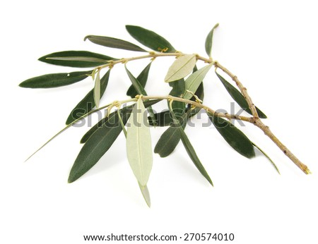 Closeup of olive tree branch isolated on white background - stock photo