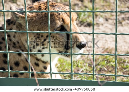 Closeup of one beautiful sorrowful wild african fast animal of cheetah with spotted soft fur lying behind wire netting sunny day outdoor in zoo - stock photo