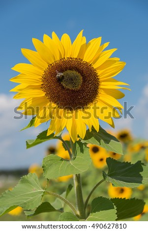 closeup of one beautiful yellow sunflower with honey bee, outdoor