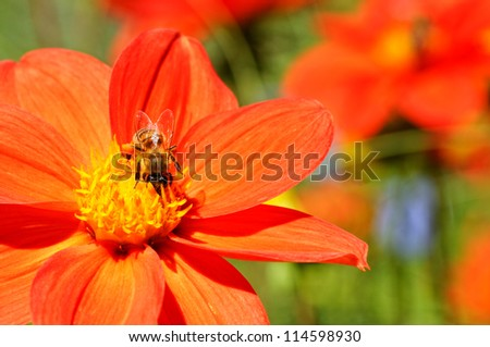 closeup of orange flower and bee