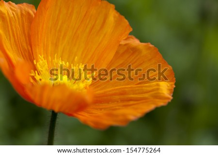 Closeup of orange poppy with green background - stock photo