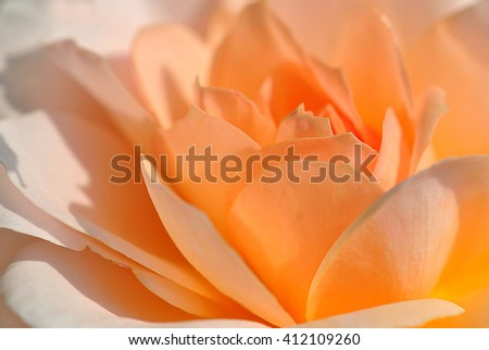 closeup of orange rose petals - stock photo