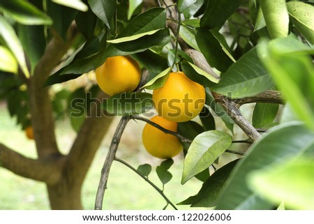 Closeup of oranges and leaves on a beautiful healthy orange tree in Florida.