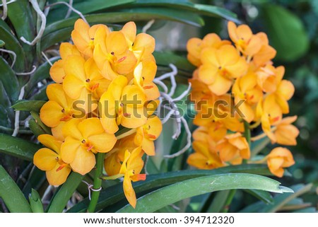 Closeup of orchids flowers in garden. Bouquet orchids flowers with green leaves nature background. Orchids is considered the queen of flowers in Thailand.