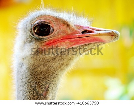 Closeup of ostrich curiously gazing into the camera - stock photo