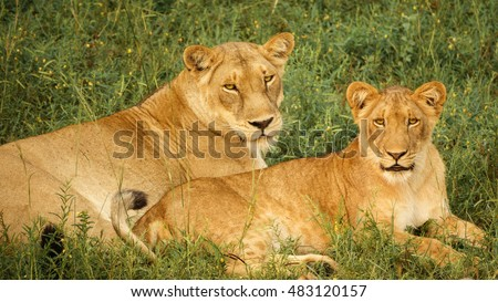 Closeup of pair of Young lions lying down looking at camera