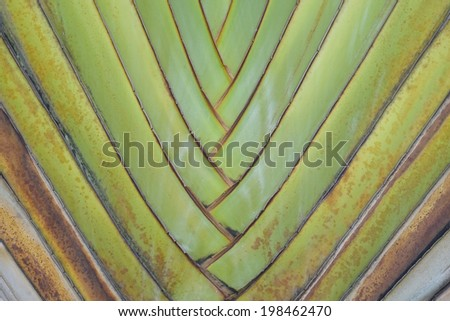 Closeup of palm tree texture. (Ravenala)