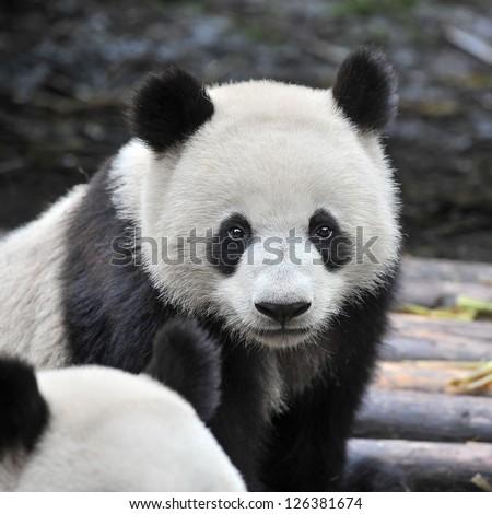 Closeup of panda bear - stock photo