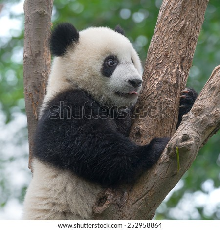 Closeup of panda bear in tree - stock photo