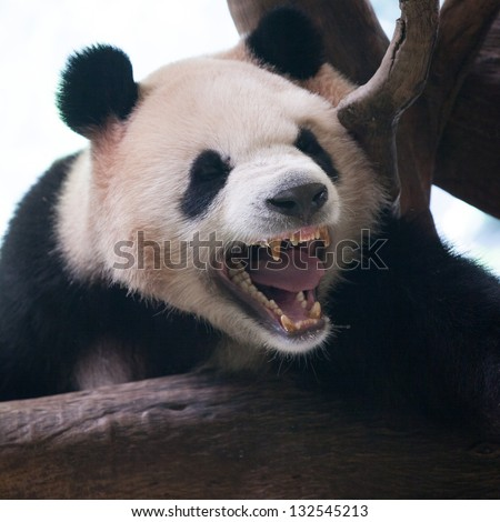 Closeup of panda bear roar