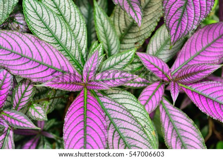 closeup of persian shield strobilanthes dyeranus acanthaceae leaves for background wallpaper