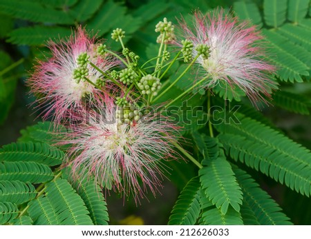 Closeup of Persian Silk Tree (Albizia julibrissin) or Pink Siris Flowers Foliage and Immature Fruits, Horizontal Day shot, Shallow Focus