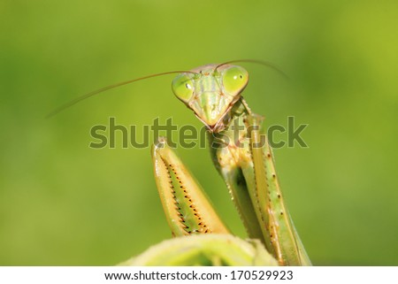closeup of photo, tenodera mantis on green leaf, to make alert posture