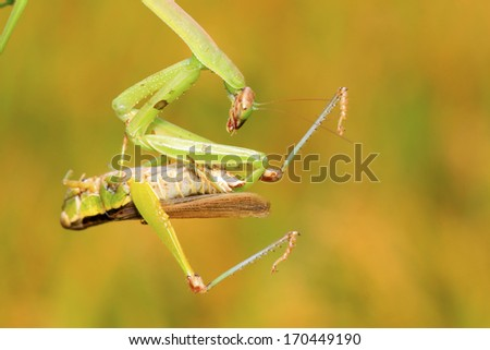 closeup of photo, tenodera mantis prey on locust