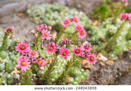 Closeup of pink blooming Cobweb Houseleek or Sempervivum arachnoideum in the early summer season. - stock photo