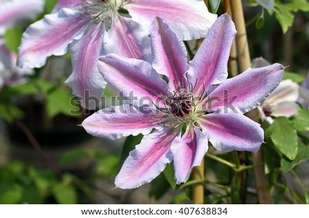 Closeup of pink Clematis flower.