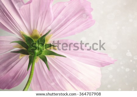 Closeup of pink cosmos flower with soft blur background - stock photo