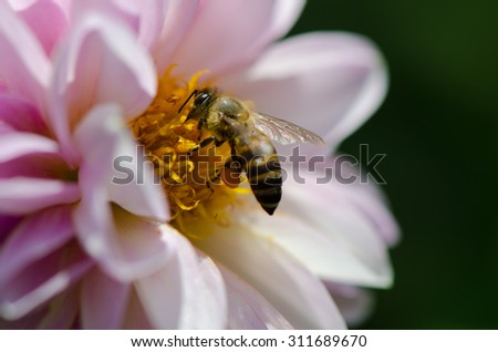 Closeup of pink Dahlia and bee, collecting nectar from the flower