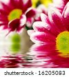 Closeup of pink daisy-gerbera reflected in the water - stock photo