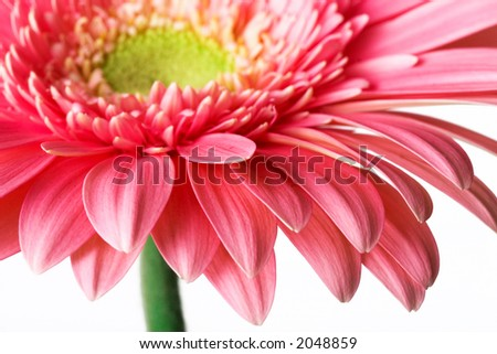 Closeup of pink daisy with water droplets - stock photo