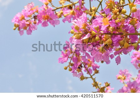 Closeup of pink flower for nature background, Lagerstroemia loudoni flower - stock photo