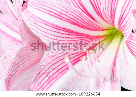 Closeup of pink flower with water drops - stock photo
