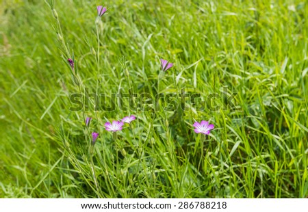 Closeup of pink flowering corncockle or Agrostemma githago plants between many green blades of grass of a meadow in springtime. - stock photo