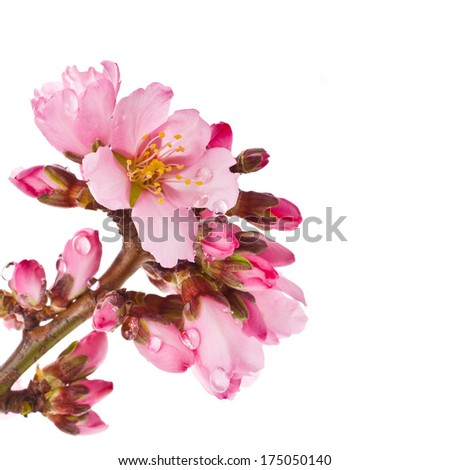closeup of pink flowers and buds with water drops almond  isolated on white background
