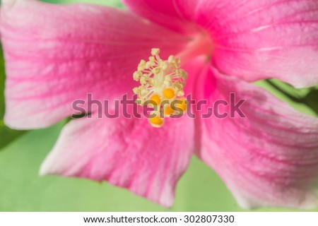Closeup of Pink hibiscus on green background - stock photo