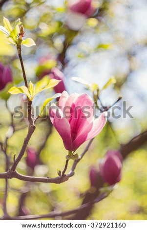 Closeup of pink magnolia flowers outdoors in spring time on defocused green leaves background. Shallow focus - stock photo