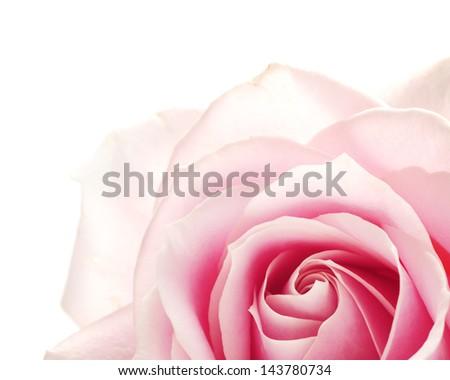 closeup of pink rose - stock photo
