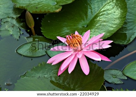 Closeup of Pink Water Lily