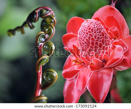 Closeup of Plant from jungle. Torch Ginger, Phaeomeria Magnifica. Amazonia, Ecuador - stock photo