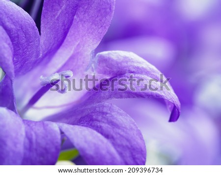 Closeup of purple campanula bell flower with shallow depth of field. - stock photo