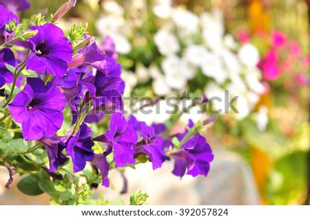 Closeup of purple flowering petunia with colorful background, Petunia hybrida - stock photo