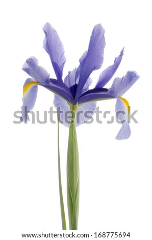 Closeup of purple lily flower isolated on white background.