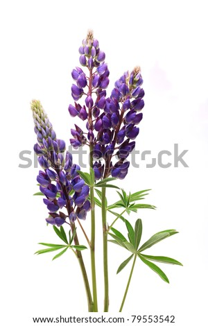 Closeup of purple lupines with long stem on white background - stock photo