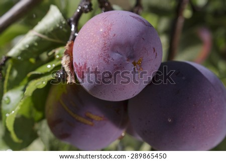 Closeup of purple plums ripening on the tree