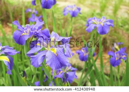 Closeup of purple wild iris flowers - stock photo