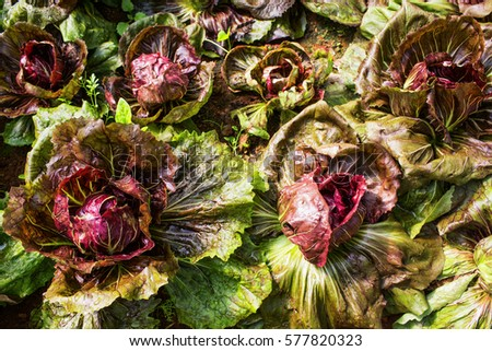Radicchio Stock Images RoyaltyFree Images Vectors Shutterstock