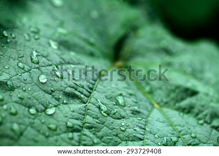 closeup of raindrops on grape leaves - stock photo