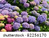 Closeup of red and blue Hydrangea macrophylla flowers (or hortensia) - stock photo